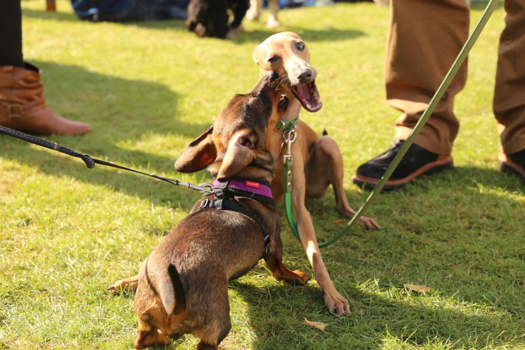 Chiswick dog show