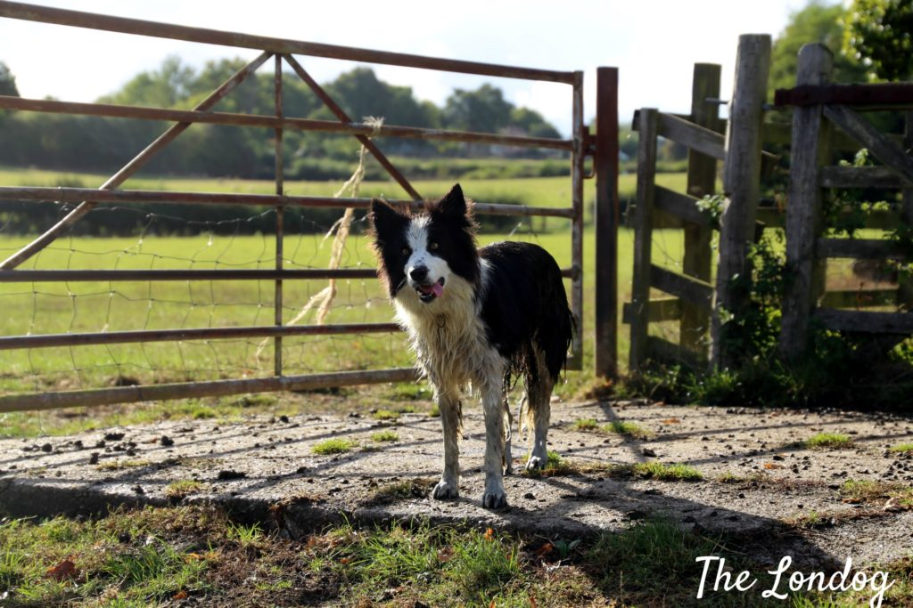 Stories: About a shepherd & his sheep dogs | The Londog