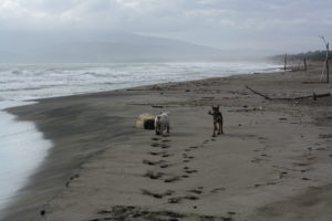 Two dogs run on a sand beach, while there are weaves in the sea and a storm
