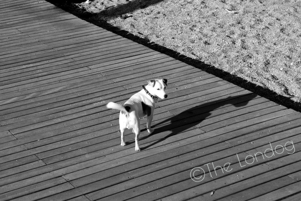 black and white dog on the beach looking at something