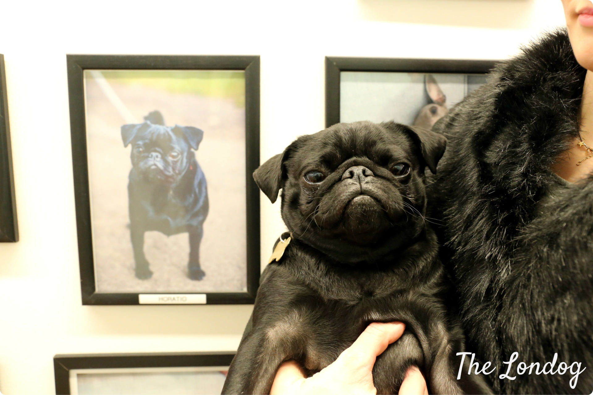 Doogler Horatio the pug in front of the hall of fame at Google UK offices