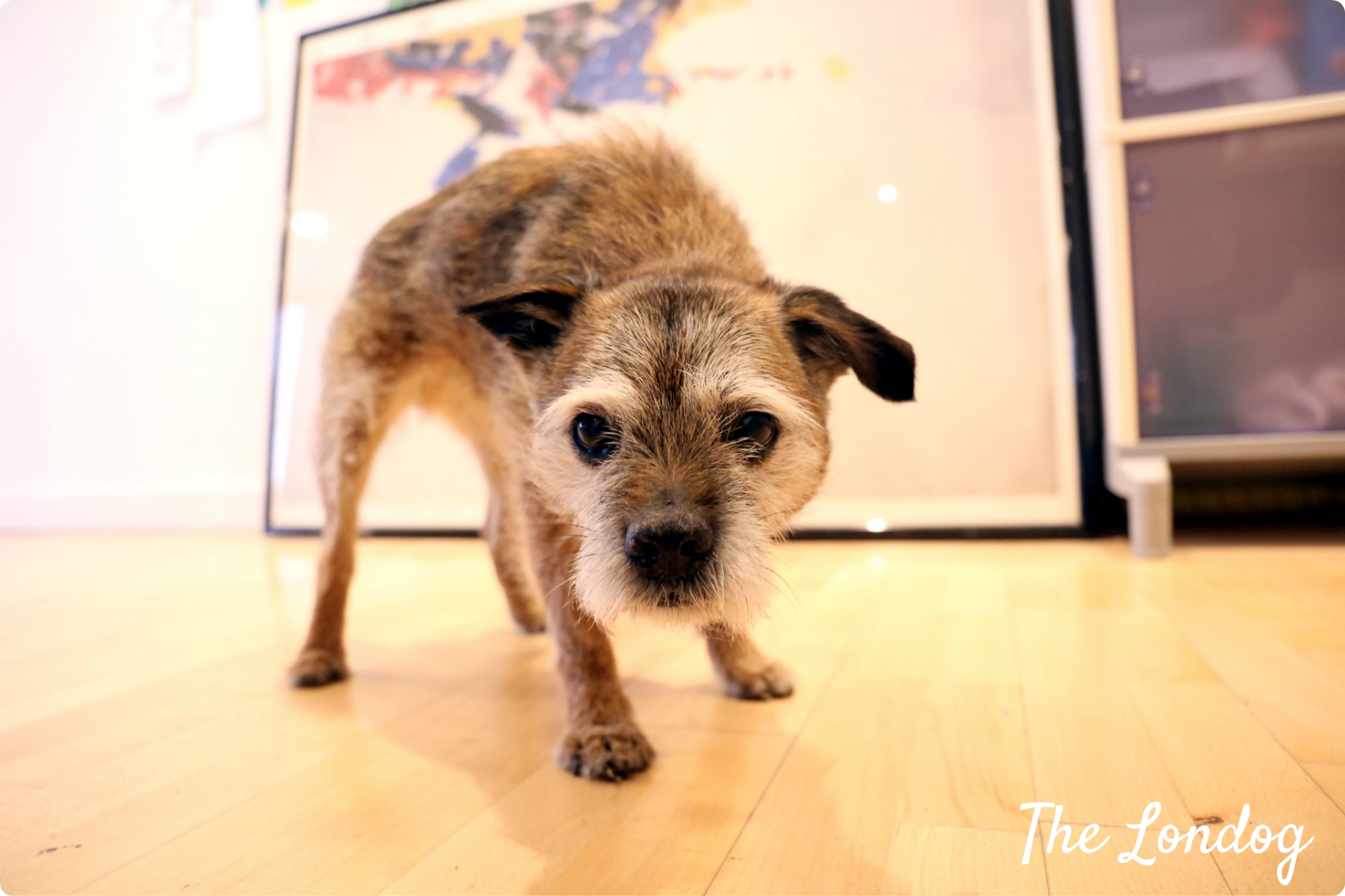 Otto the border terrier office dog looks at the camera while at Crocodile office