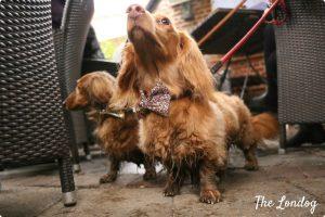 Sausage dog