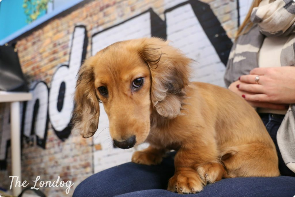 Alfie the sausage office dog of renting app Movebubble