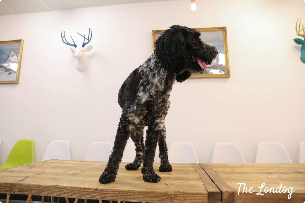 Office dog on the table
