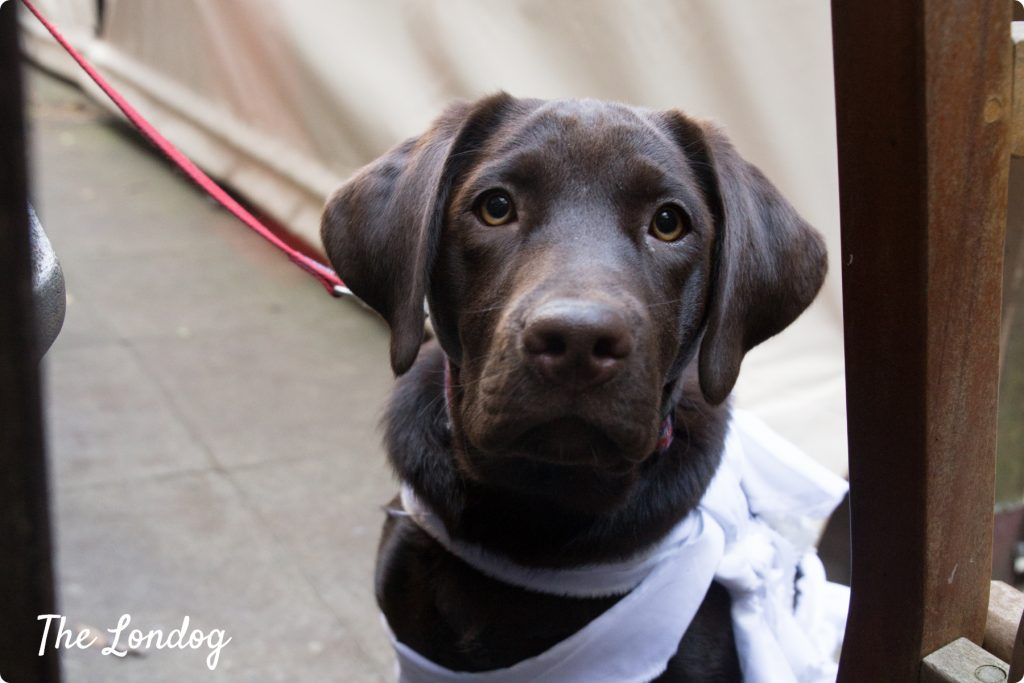 Labrador puppy at a dog event
