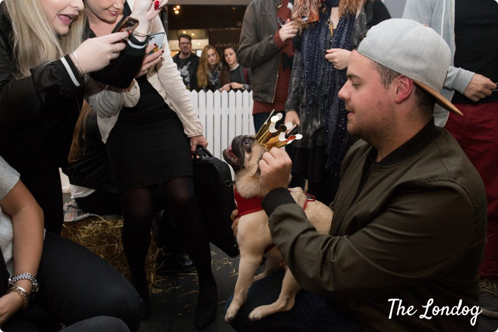 Pug at a pug event, wearing a crown