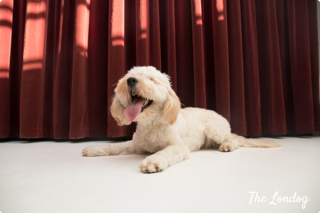 Hector the cockapoo of Mother London