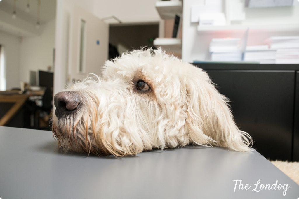 Mana Media office dog