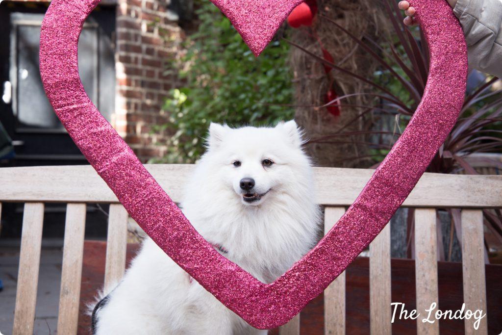Spitz valentines dog