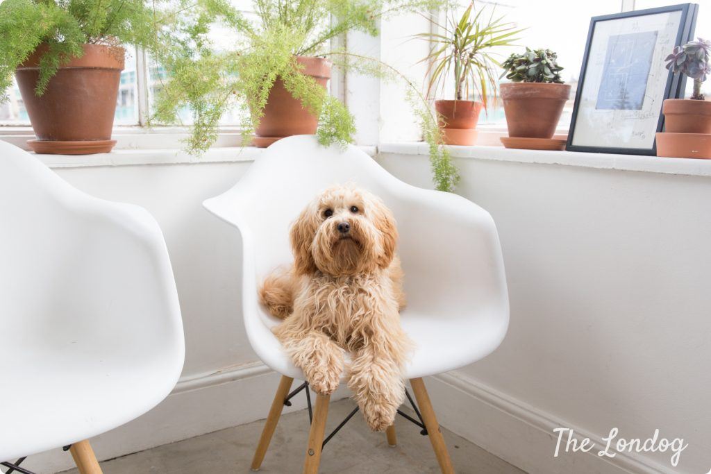 Cockapoo on a chair at the office