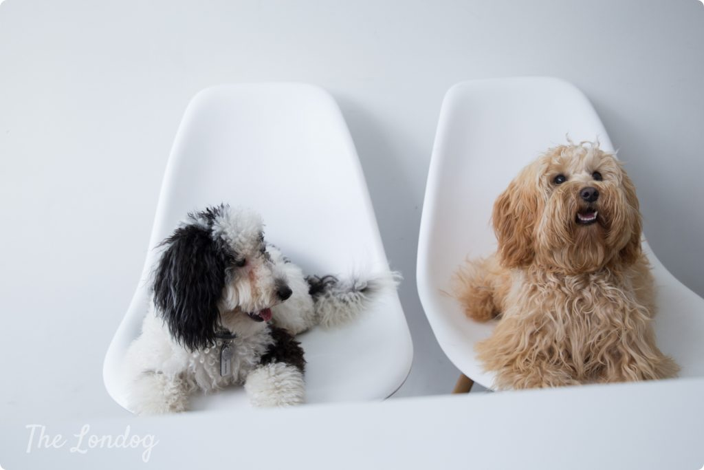 Dogs on chair office