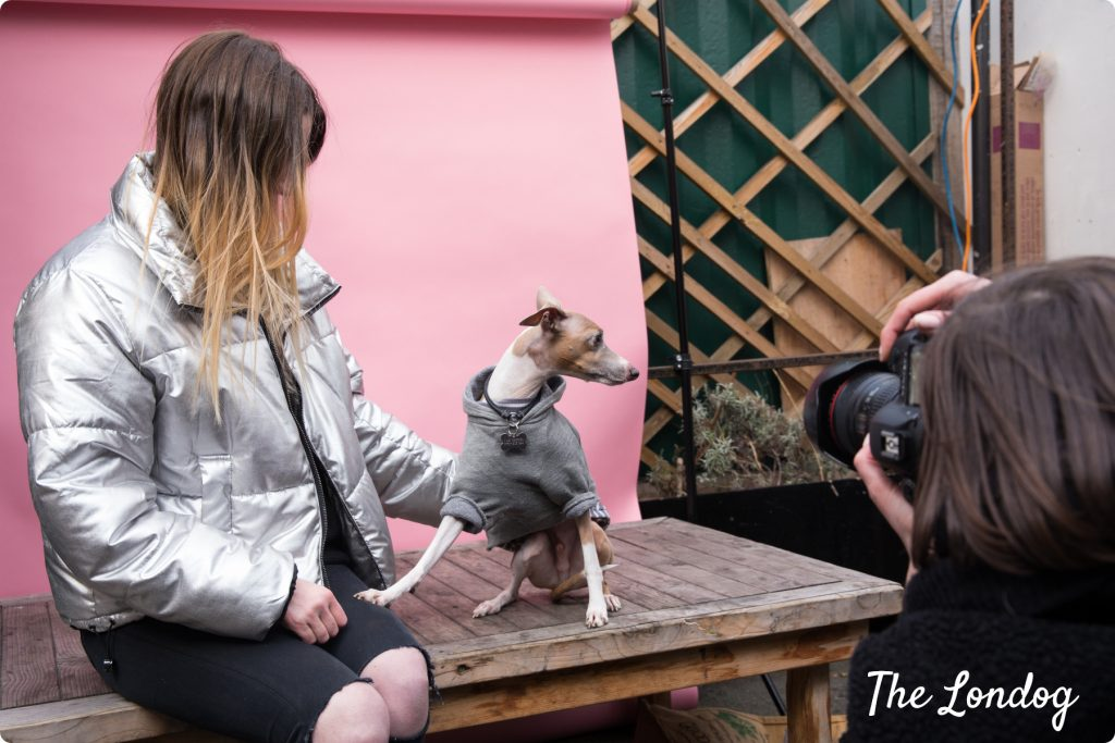 Italian Greyhound dog model photoshoot