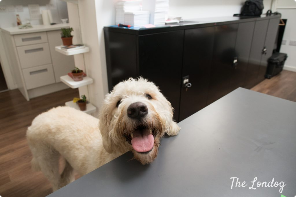 Office dog Oslo of Mana