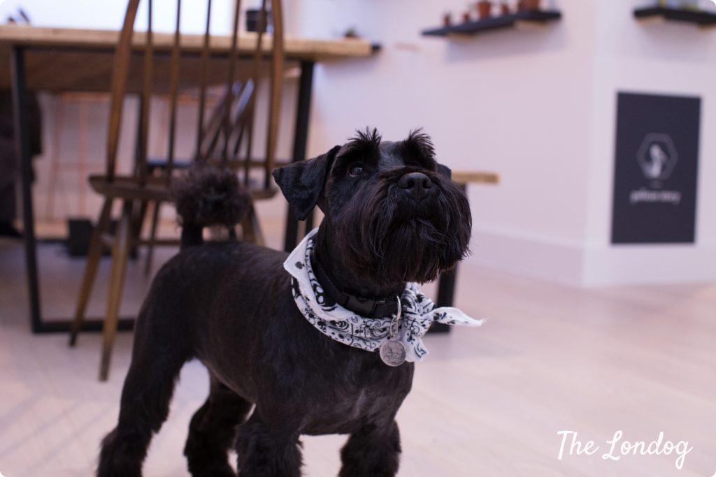 Studio dog