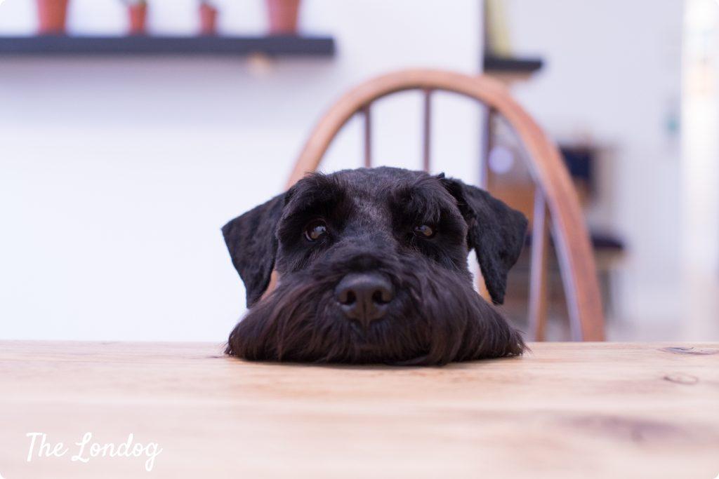 studio dog on table