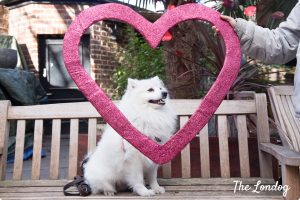 spitz sitting on bench with heart for valentines