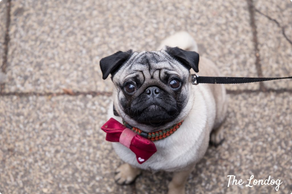 Pug at Valentines dog event London
