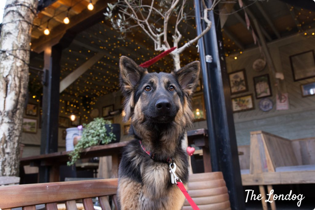 German Shepherd at the pub