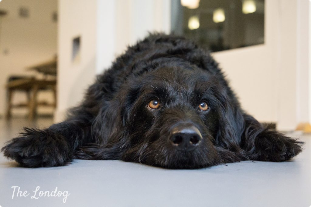 Wally office dog on the floor