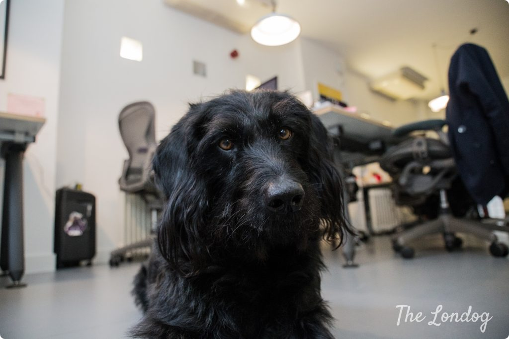 Wally office dog