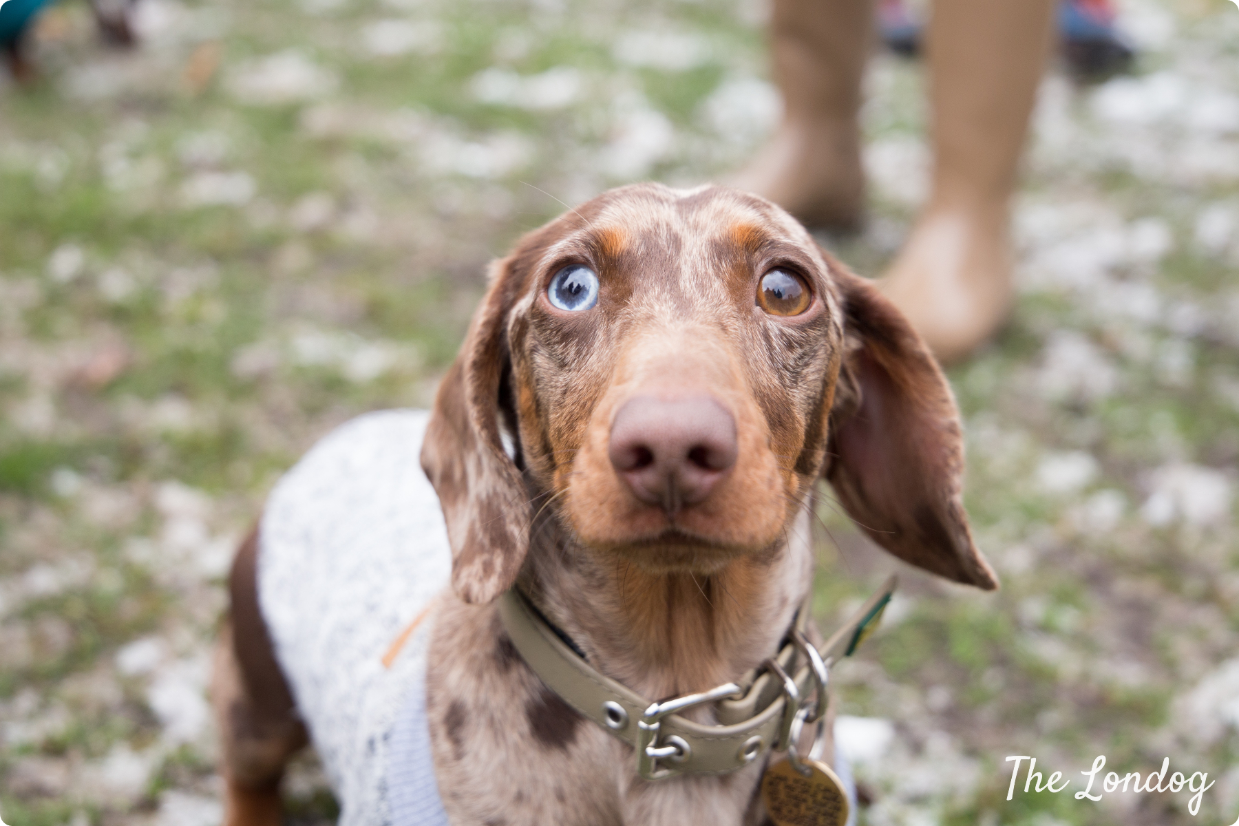 bicoloured eyed dachshund at the Sausage Walk London