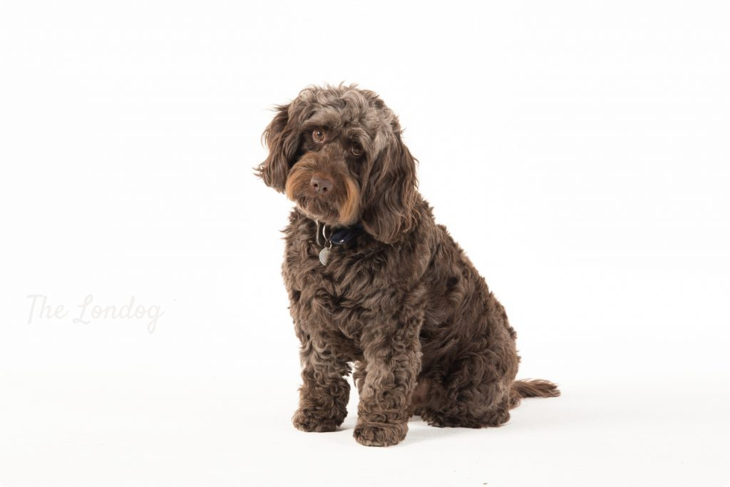 Dog looking at the camera during photoshoot