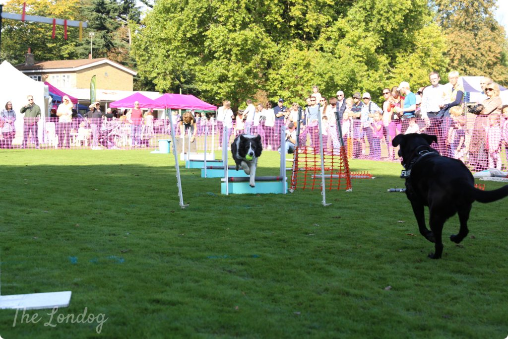 Flyball London dogs