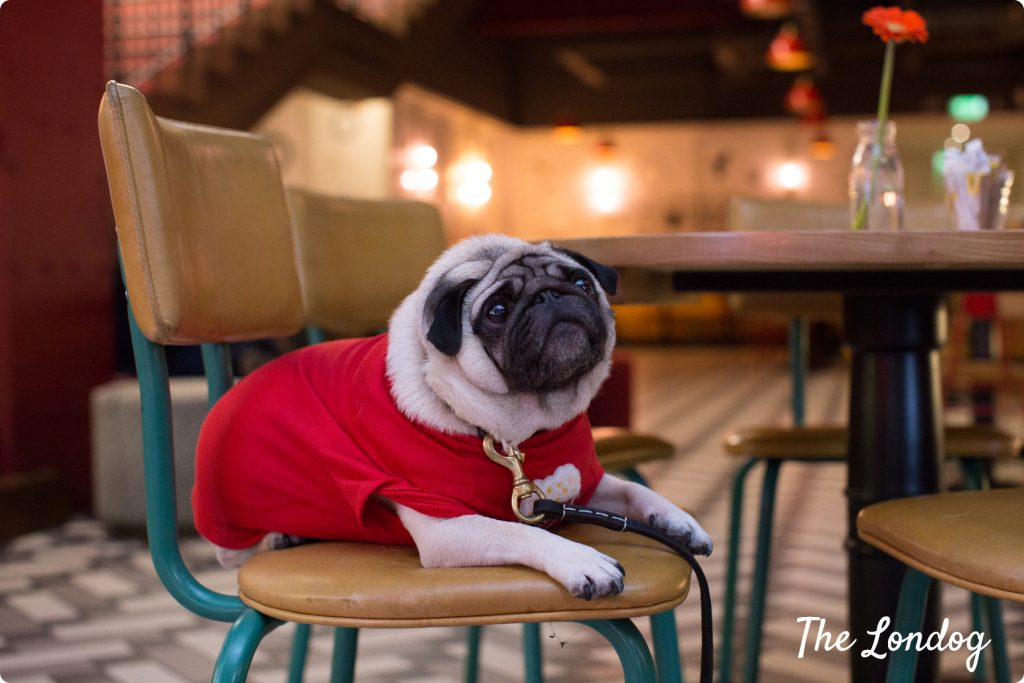 Gizmo the pug lies on a chair in the lobby of Picturehouse Central for the dog-friendly preview screening of Isle of Dogs movie