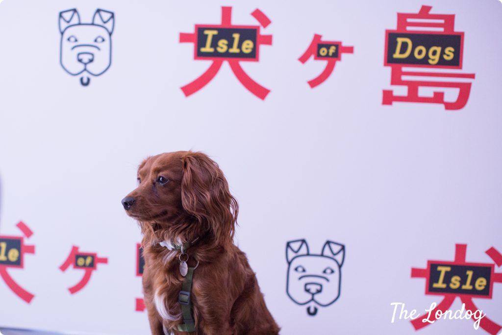 Dog posing at Isle of Dogs cinema screening