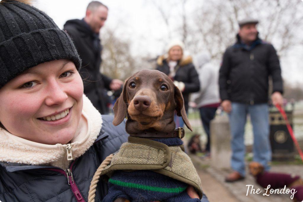 sausage dog looking at the camera