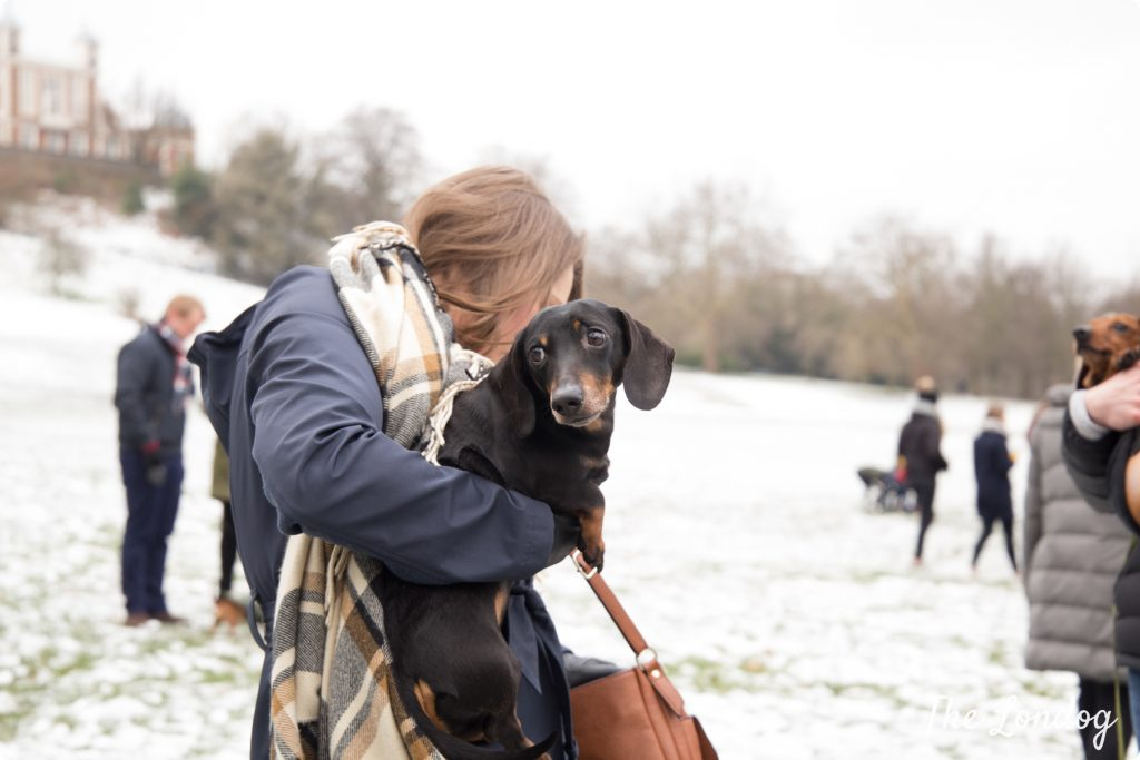 Dachshund looking at something while being carried in his owner's arms at the Sausage Walk London