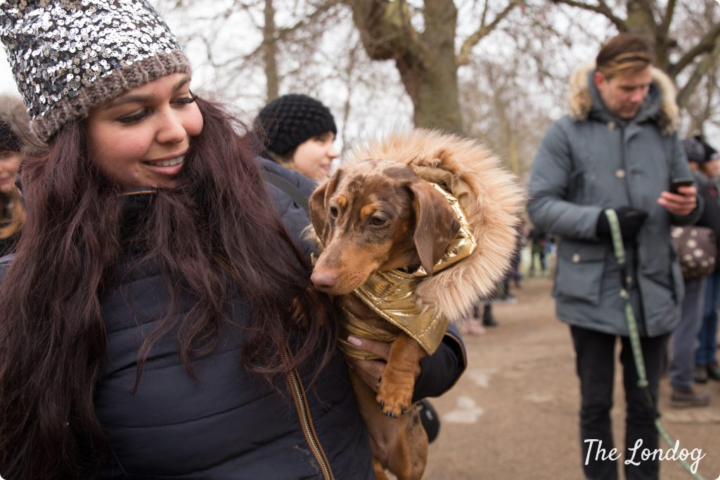 Dachshund with gold coat at the Sausage Walk London