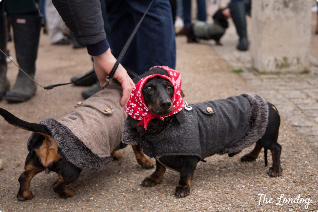 Black dachshund with red handkerchief