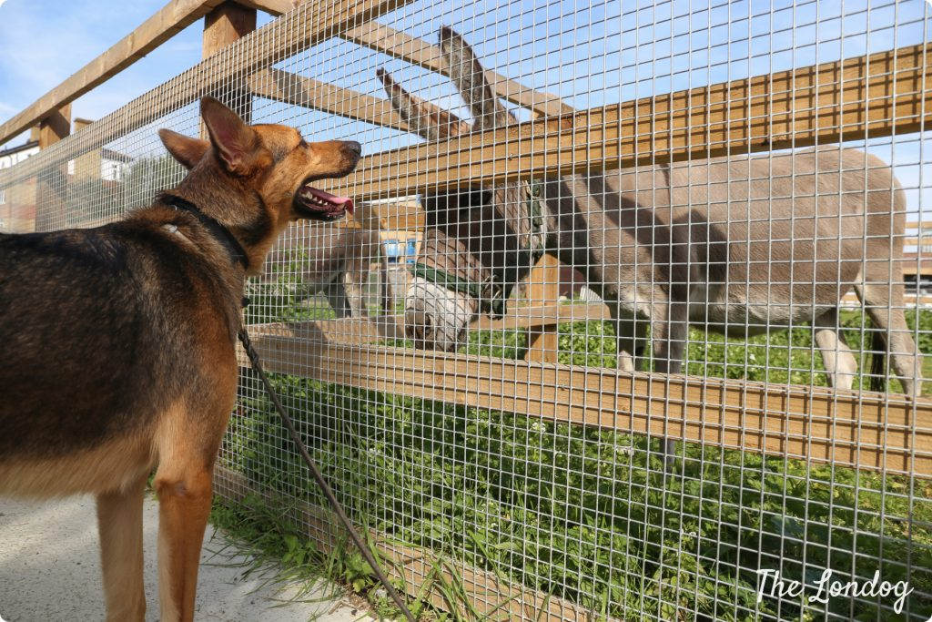 dog looking at donkey during visit of dog-friendly city farm in London, Surrey Quays