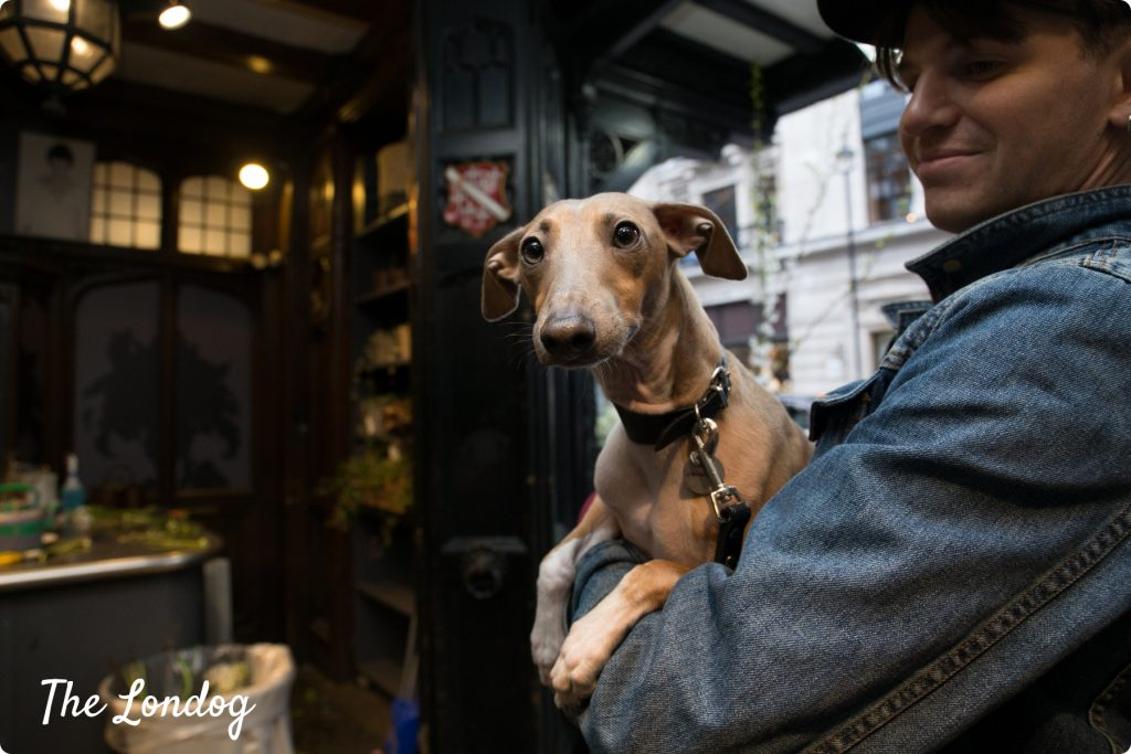 Italian Greyhound dog carried by his owner at Liberty London department store