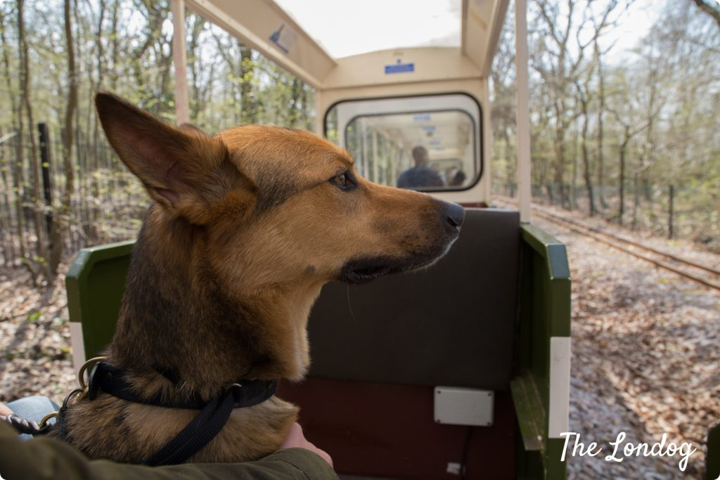 Dog looks the woods while on the miniature train