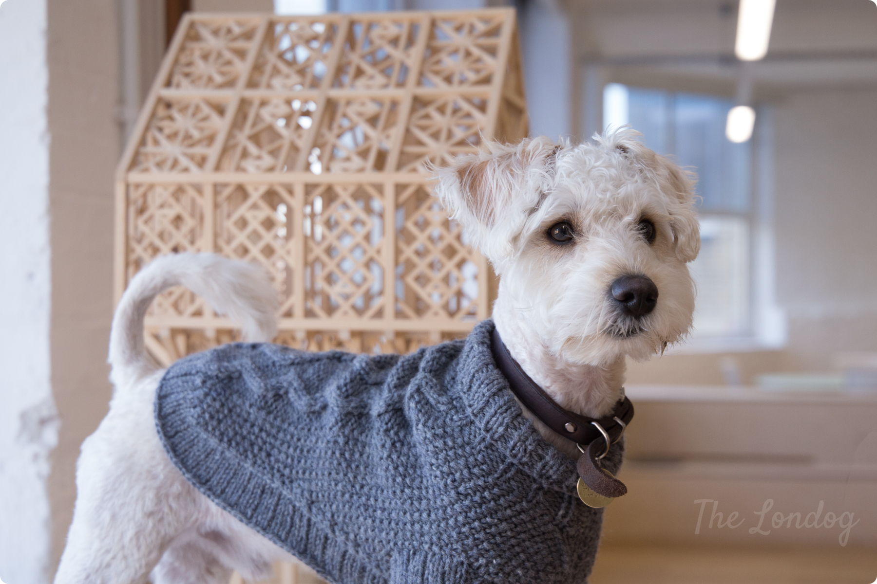 Close up of Jake the white Schnoodle puppy wearing his grey wool jumper with an architectural model on the background