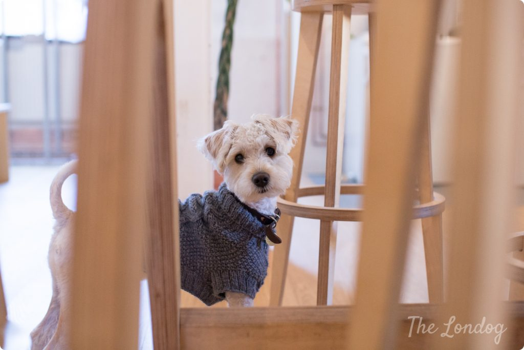 Little white office dog with a jumper looking in your direction in between stools legs