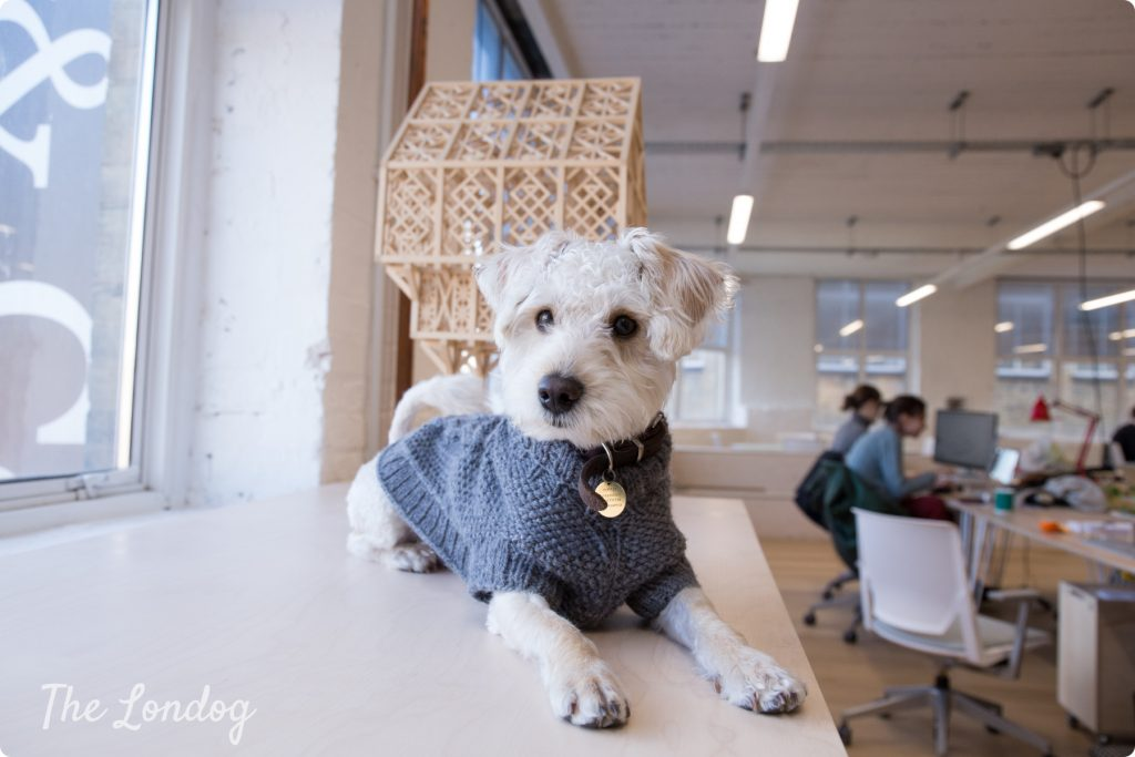 Puppy schnoodle studio dog lays down on a table at the architectural studio Architecture 00 in East London