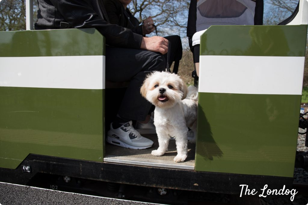 Little white dog on carriage of the Ruislip Lido Railway