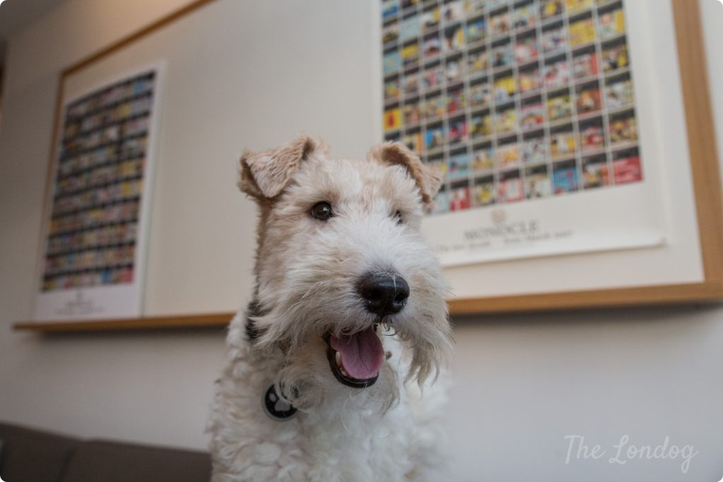 Macy the fox terrier office dog smiles while sitting on the couch at Monocle's office