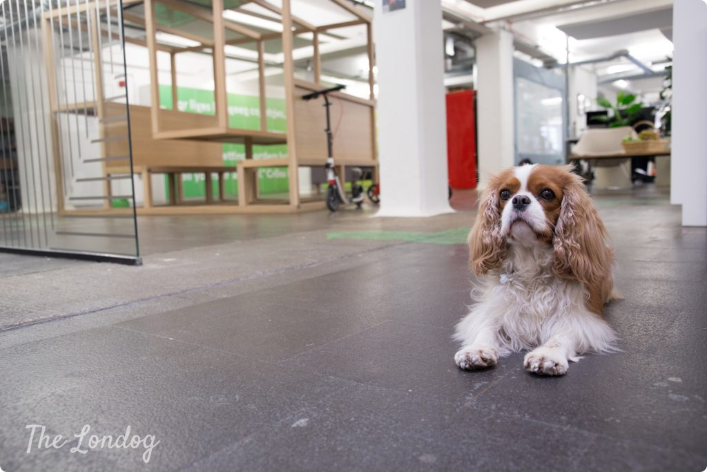 Office dog King Charles Cavalier Spaniel laying on the concrete floor at TransferWise London office