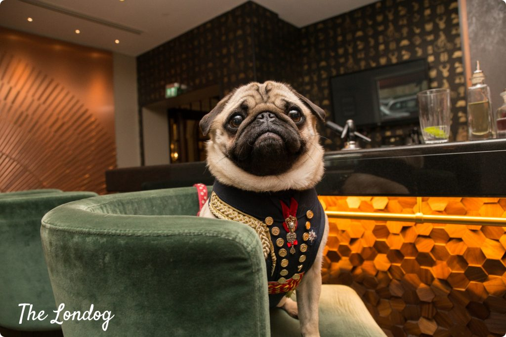 Pug sitting on a stool at posh bar
