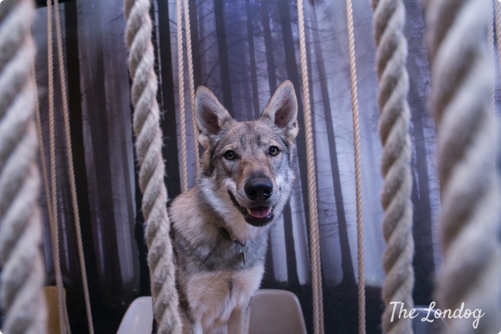 Office dog looks at you between ropes with a wall painted with a forest in a meeting room