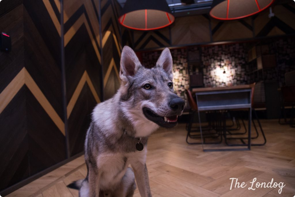 Office wolfdog looks interested to something in a dark games room at WeWork offices