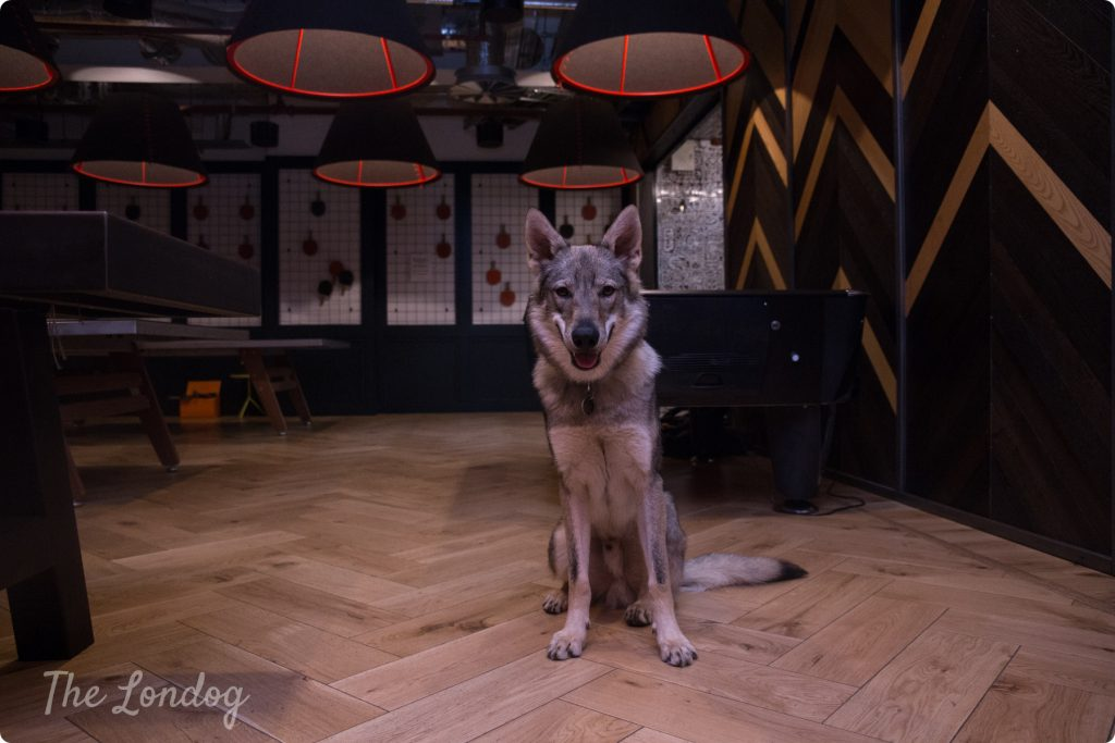Vulric the wolfdog office dog sits in the games room in the dark with some lamps hanging from the ceiling