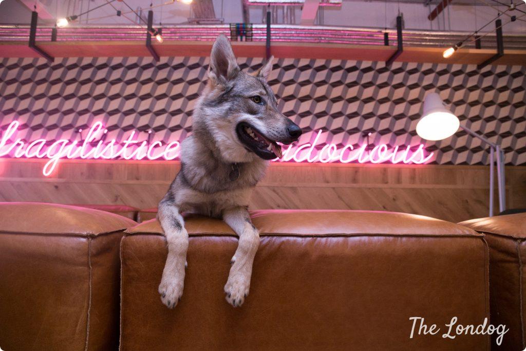 Wolfdog office dog on sofa