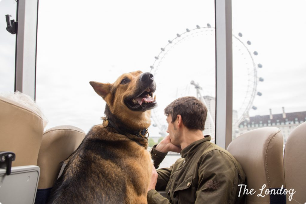 Dog on boat in front of London Eye on the river Thames