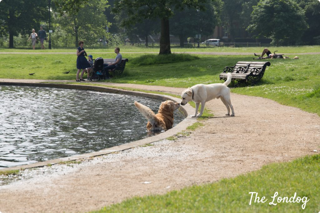 Two Labrador dogs at Clapham Common pond